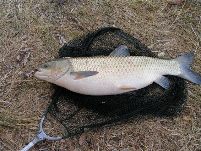 белый амур рыба ловля