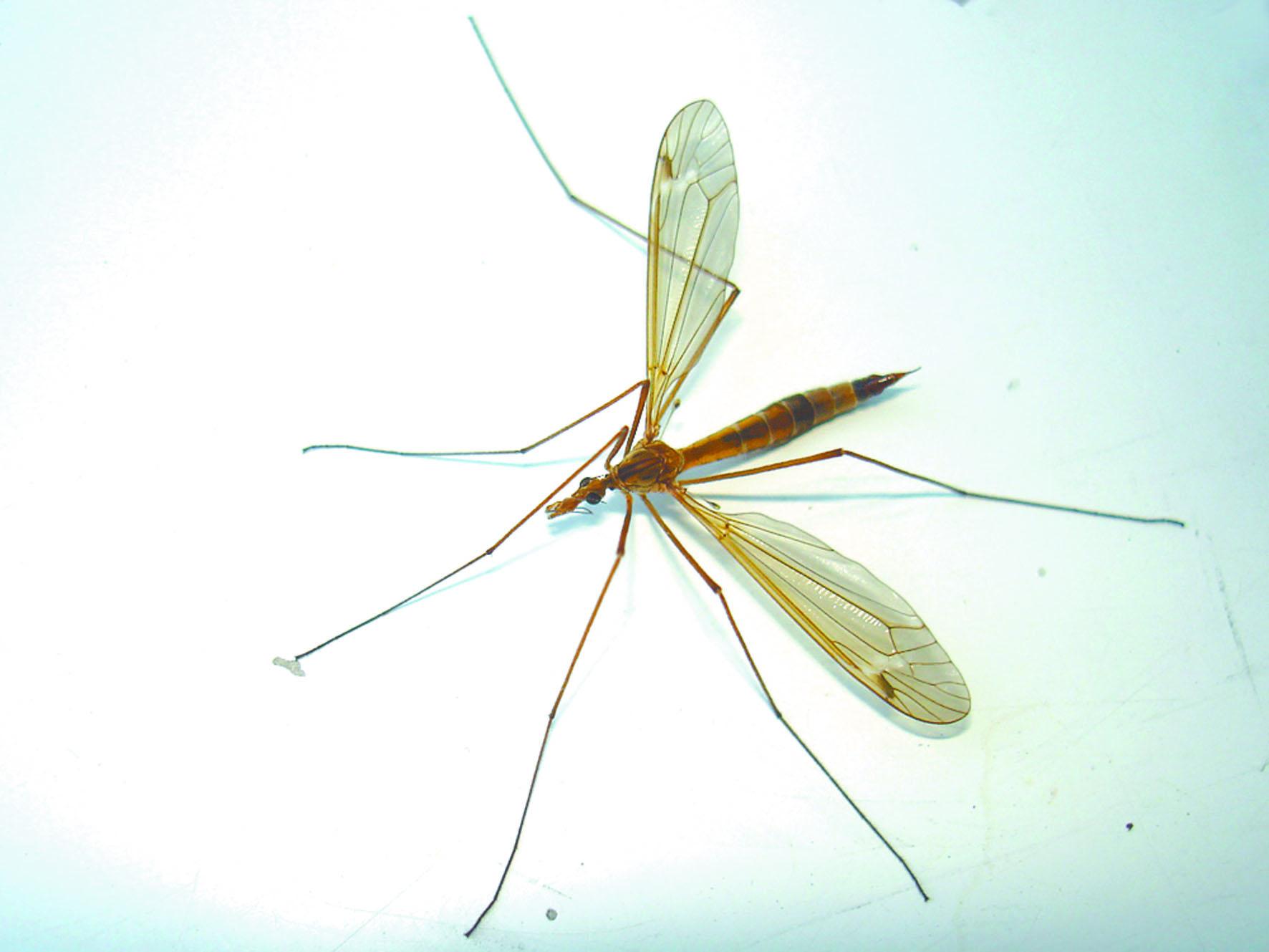 деревянную виды комаров в картинках своей