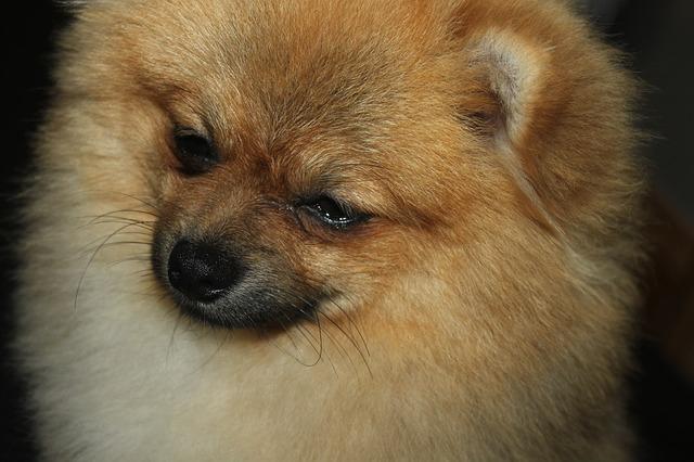 Две мошенницы изНовосибирска продали амурчанам несуществующих щенков