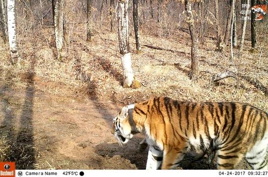 Тигр Боря, выпущенный Путиным, итигрица Светлая стали родителями