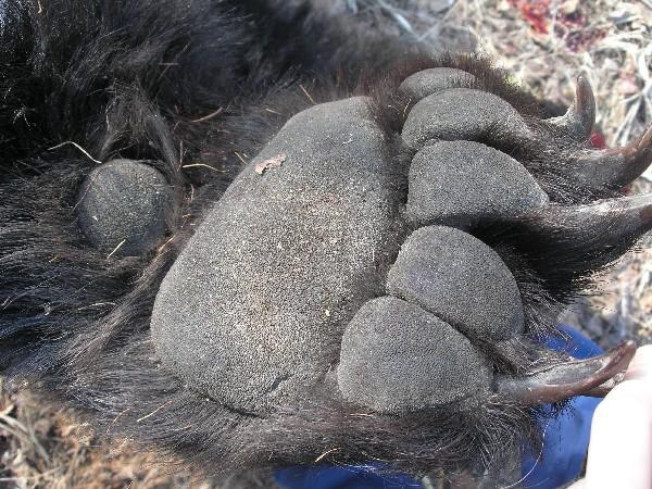 Сколько стоит медвежьи лапы
